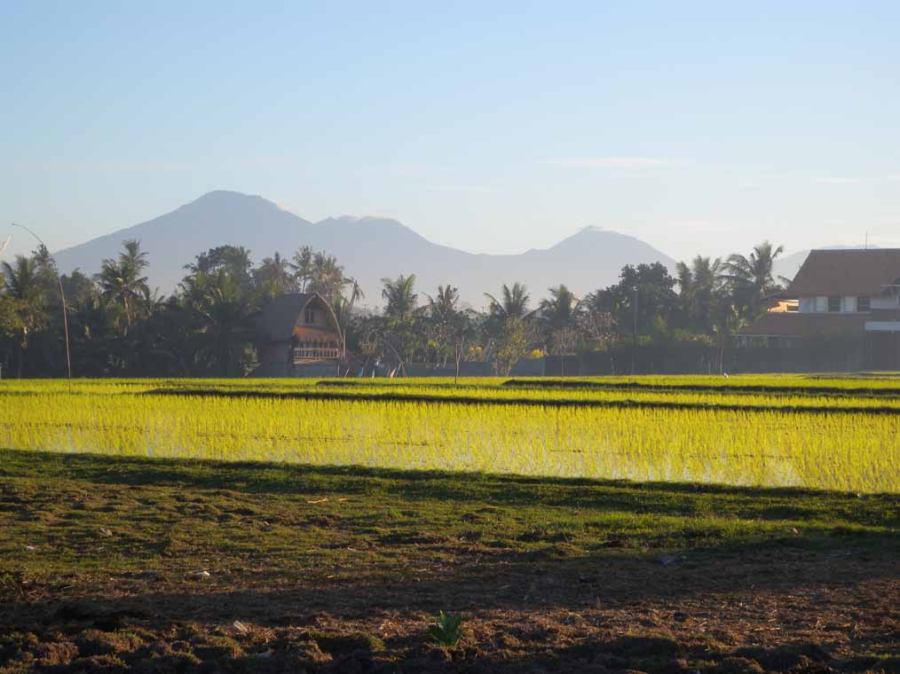 Rice paddies close to Pererenan Beach